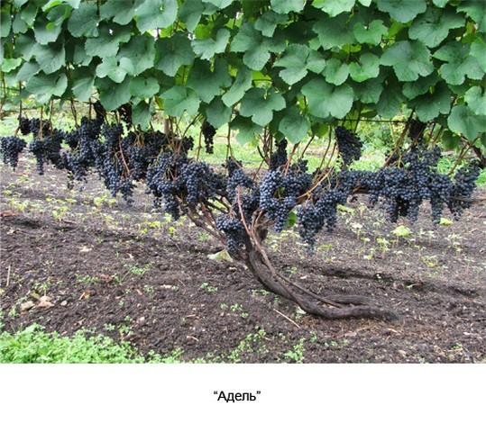 сорт винограда Адель