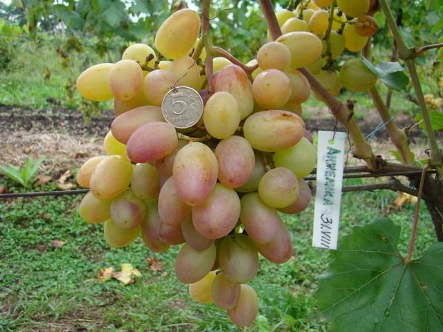 сорт винограда Анжелика