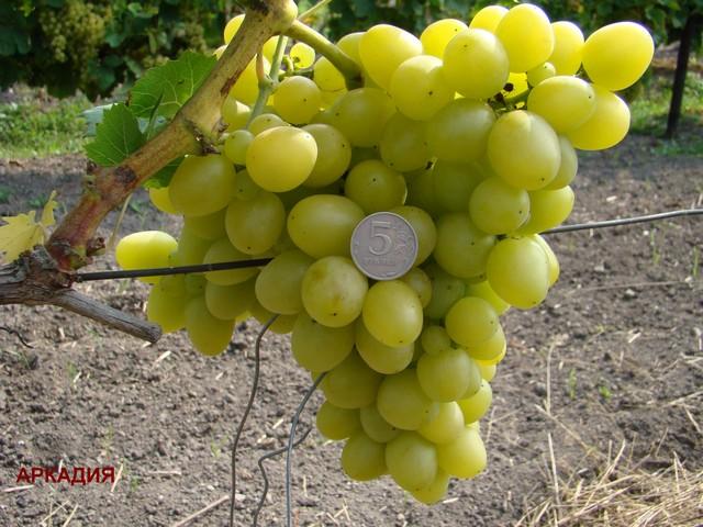 сорт винограда Аркадия