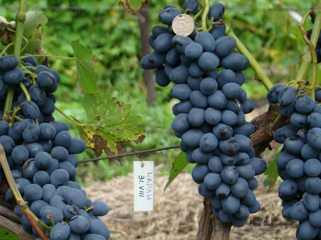 сорт винограда Чарли