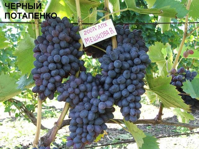 сорт винограда Чёрный Потапенко