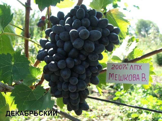 сорт винограда Декабрьский