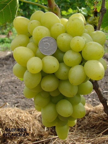 сорт винограда Надежда аксакайская