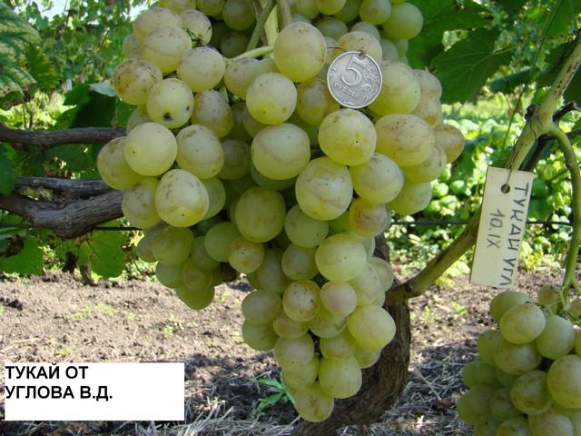 Виноград Тукай Описание Сорта Фото