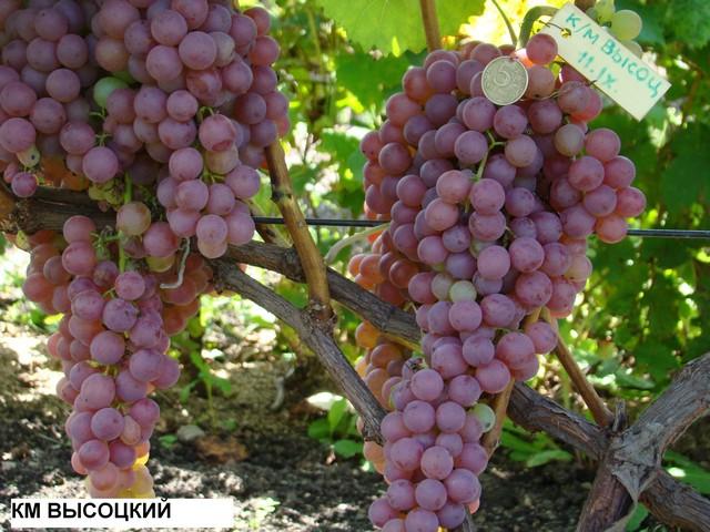 сорт винограда КМ Высоцкого
