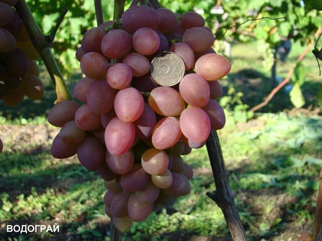 сорт винограда Водограй