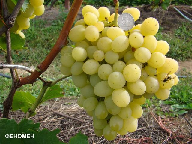 сорт винограда Феномен