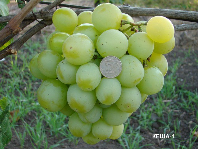 сорт винограда Кеша-1