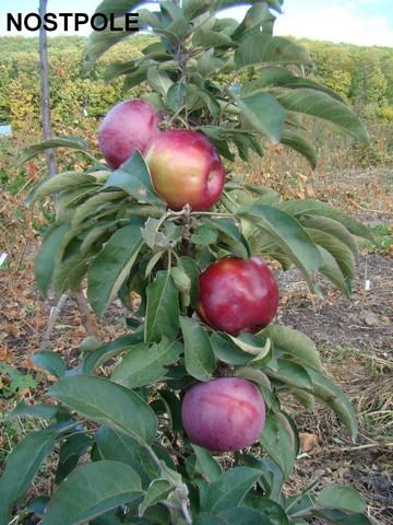 сорт колонновидной яблони Nostpole