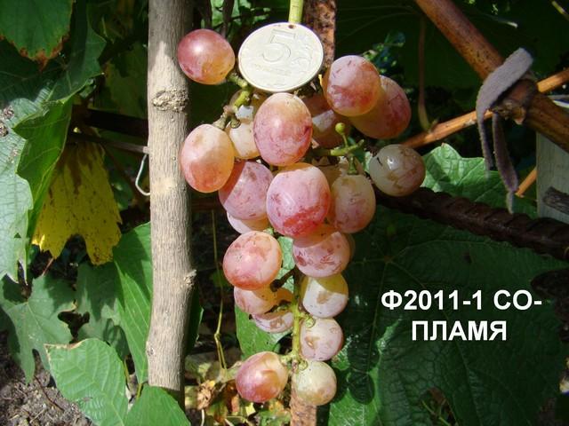 сорт винограда Пламя