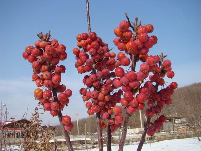 сорт колонновидной яблони Ренет Мажерова