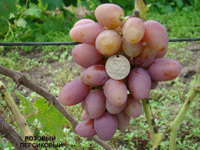 сорт винограда Розовый персиковый
