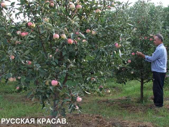 Колонновидные яблони лпх мешкова г