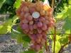 сорт винограда Арочный
