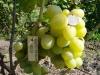 сорт винограда Боготяновский