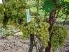 сорт винограда Эдна