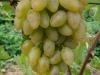 сорт винограда Элегант