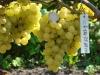 форма винограда f-14-75
