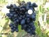 форма винограда ГФ1682-3