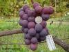 сорт винограда Осенний крупный