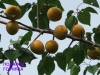 сорт персика Подарок горняка