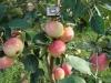 сорт яблони Русская красавица