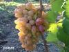 сорт винограда София