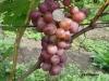 сорт винограда Вероника