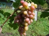 сорт винограда Восторг красный