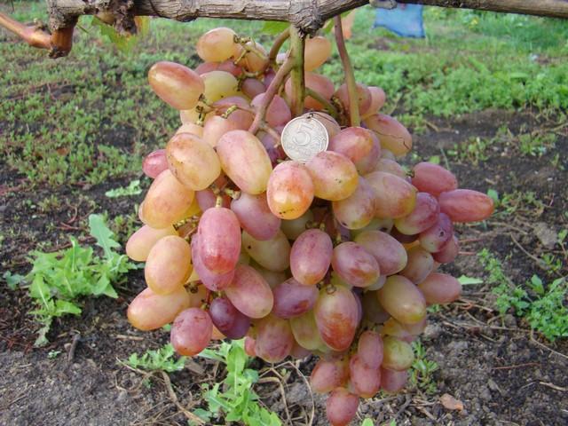 сорт винограда Виктор