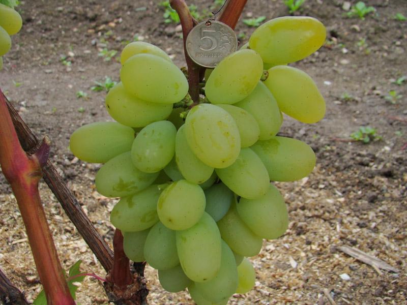 Виноград Аромат Приморья