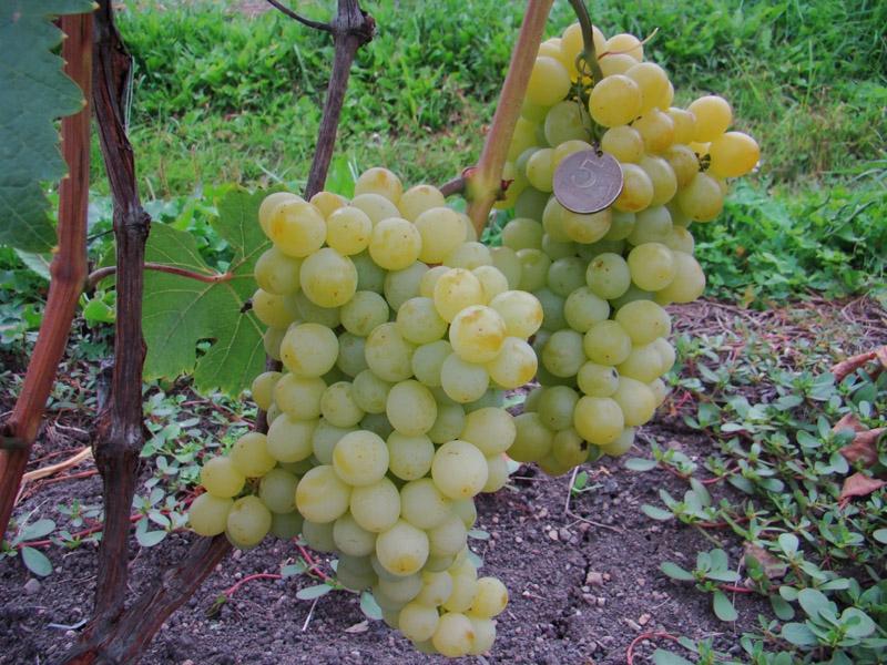 Виноград Бессемянный юбилейный