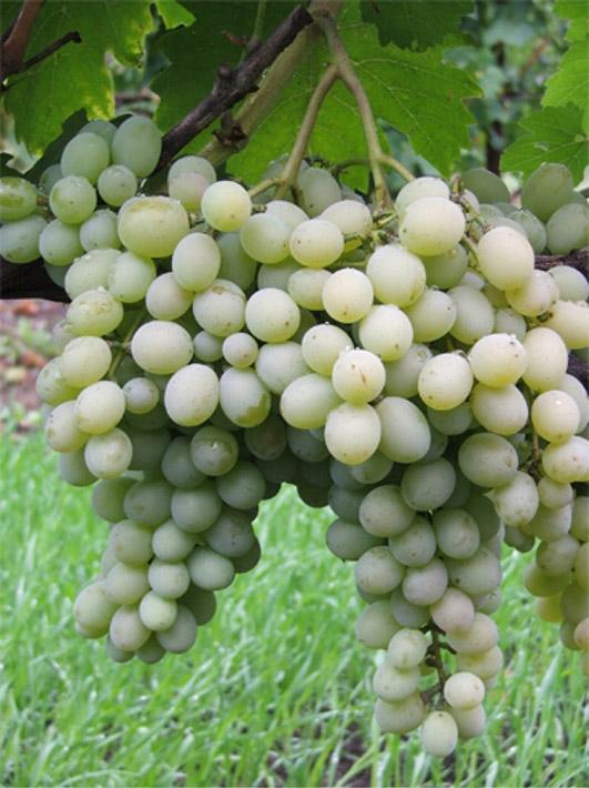 Виноград Михалыч