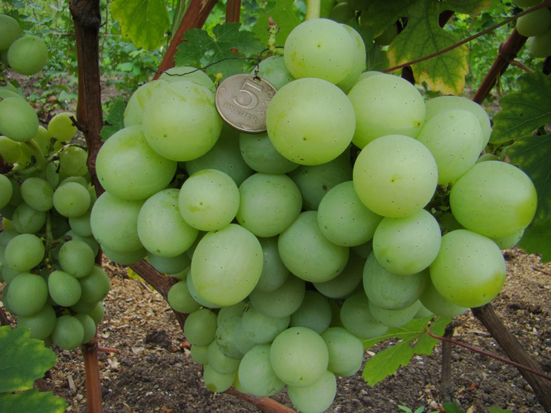 Виноград Подарок Алексею Лишафа