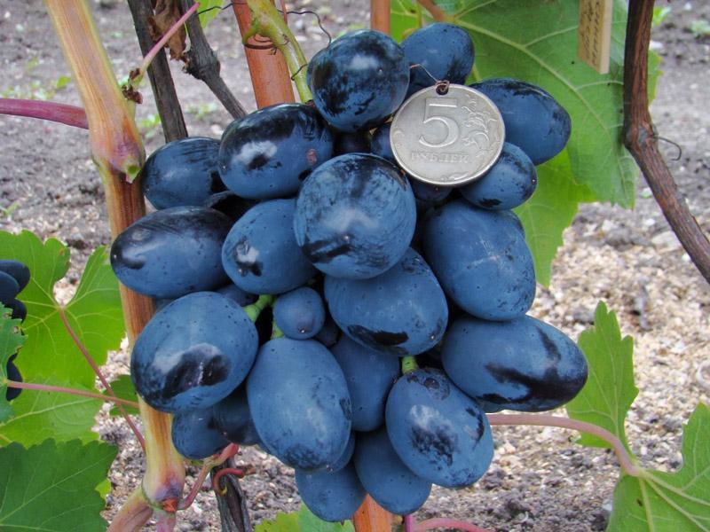 Виноград Полинушка