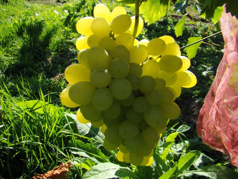 Виноград Толя