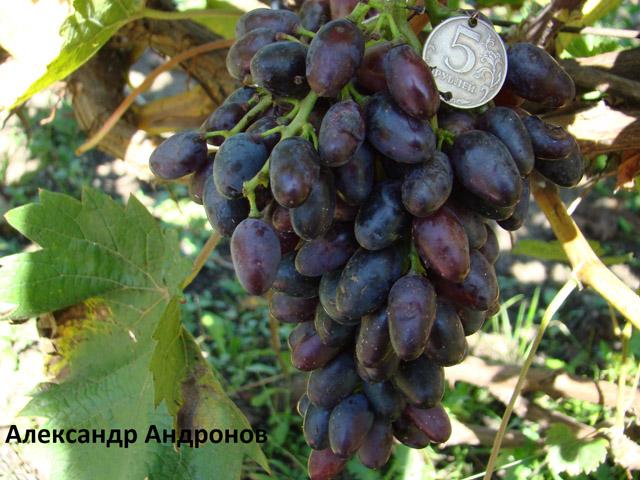 сорт винограда Александр Адронов