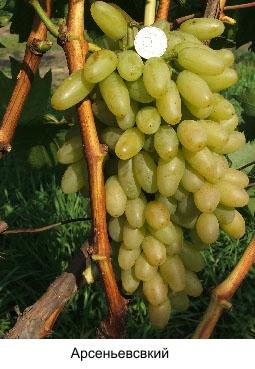 сорт винограда Арсеньевский