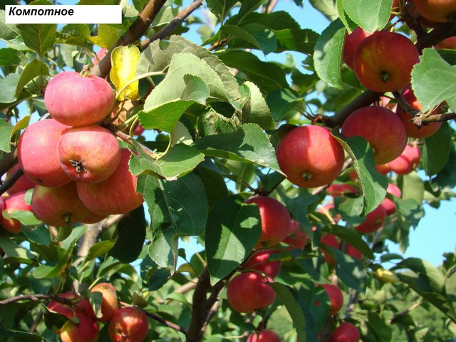 сорт яблони Компотное