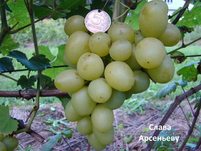 сорт винограда Слава Арсеньеву
