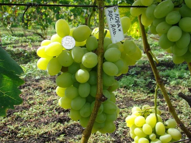 сорт винограда КМ Толя