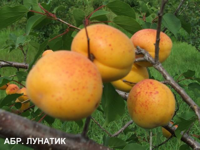 сорт абрикоса Лунатик