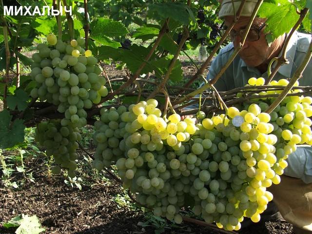 сорт винограда Михалыч
