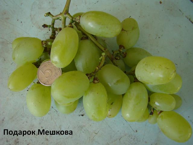 сорт винограда Подарок Мешкова