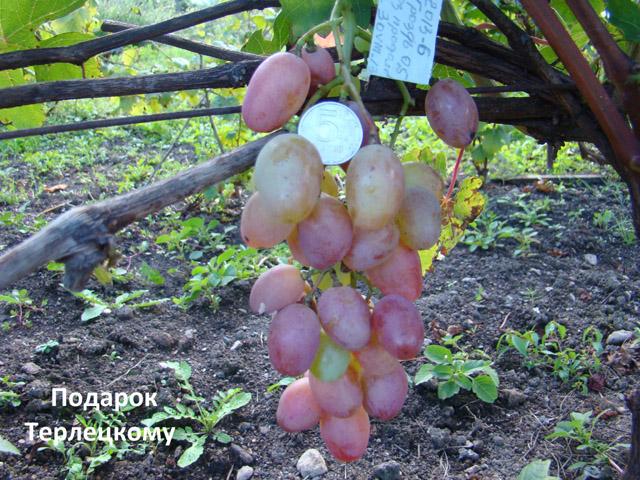 сорт винограда Подарок Терлецкому