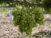 форма винограда ГФ-2011-1