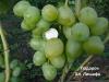 сорт винограда Подарок Алексею Лишафа