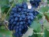 сорт винограда Полинушка